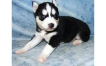 Siberian Husky Puppy text or call (470) 222-6018