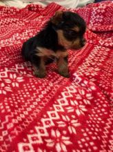 Teacup Yorkie Puppies Available.(607)431-8064