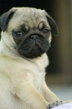 Adorable M/F Pug Puppies Available For Adoption.(607)431-8064 Image eClassifieds4U