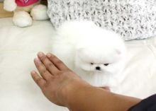Lovely Pomeranian Puppies Image eClassifieds4U