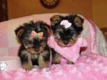 Miniture Yorkie Pups / Fully Insured