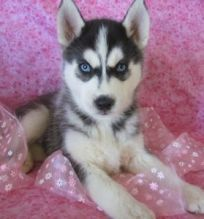 Adventurous and Clever siberian husky puppies for Free