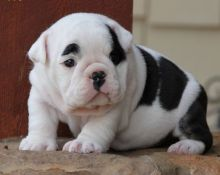 Charming English Bulldog Puppies Waiting To Go NOW