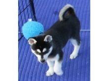 Siberian Huskies Available