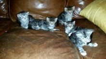 Lovely quality Maine kittens are available to new homes