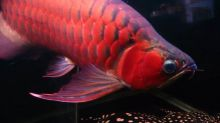 AROWANA FISHES FOR SALE (253) 470-8173