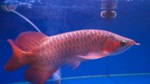 Asian Red Arowana Super Red Arowana Chili Red Arowana (253) 470-8173