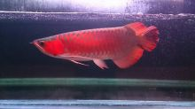 FRESH AND QUALITY SUPER AROWANA FISHES AND MANY OTHER FISHES AVAILABLE Call Or Send text