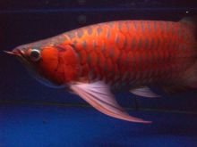 Quality Grade A super Red Arowana fish for sale and many others (253) 470-8173