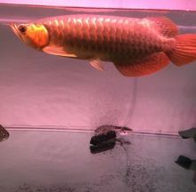 Red tail arowana fish Call Or Send text with your orders to (253) 470-8173 For more information