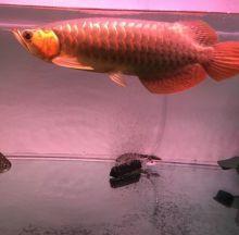 Super Red Arowana fishes of any type $200.00