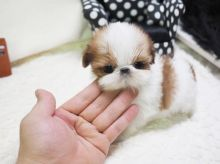 Regina Shih : Dogs, Puppies for Sale Classifieds at eClassifieds 4U