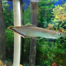 Quality Grade A super Red Arowana fish for sale and many others (253) 470-8173 Image eClassifieds4u 2