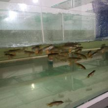 Super Red and 24k Golden Arowana Available Now Call Or Send text with your orders to (253) 470-8173 Image eClassifieds4u 3