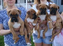Boxer puppies ready to go