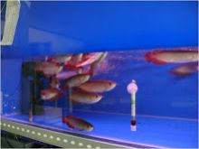 Champion Quality Arowana fishes available for sale