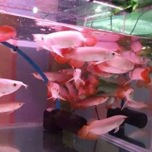 Flower Horn Arowana fish and many others fish for sale We supply $250.00 We have variaties of arowa