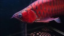 Quality and Affordable Koi, Arowanas for your aquarium tanks. Very Affordable (253) 470-8173