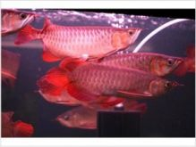 Super Red Arowana and Many Others for Sale $400.00 We have available Asian Arowana fishes