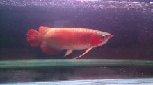 Top super red arowanas fish and many others fish for sale We supply We supply top quality arowanas