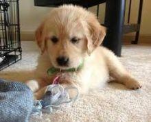 Two Adorable Retrievers for Adoption--v.eronicaazer82.0@gmail.com