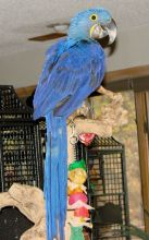 Accessories and cage Hyacinth macaw Re-Home