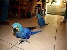 AEWAAC marvelous Two Blue and Gold Macaw Available For Sale