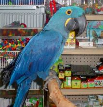 chivalrous Hyacinth Macaw Male and Female Ready Now