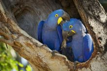 high-class Hyacinth Macaw Parrot Available To Go