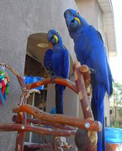 Hyacinth Macaw Parrots for Adoption