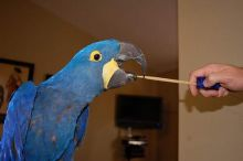 khgjhgh magnificent Two Blue and Gold Macaw