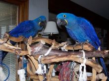 magnificent Two Blue and Gold Macaw