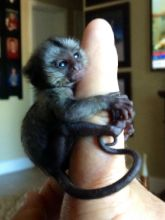 Little Sweet Marmoset Monkey call/text (480) 359-4694