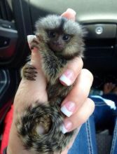 Cute, Healthy Marmoset Monkeys call/text (480) 359-4694