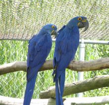 well mannered Hyacinth Macaw Parrot For Sale