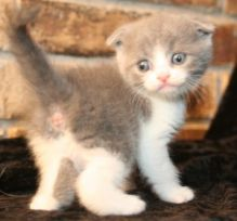 Well Socialized F1 and F2 Scottish Fold Kittens Available -