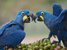 wholesome Hyacinth Macaw Parrot For Sale