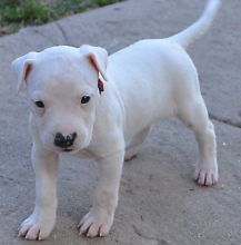 Adorable Healthy Dogo Aregentino M/F Text us at (860) 470-4827