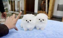 Guelph*Healthy P.o.m.e.r.a.n.i.a.n Puppie.s puppies!!!sms (252) 678-5431