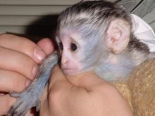 Well Trained Capuchin Monkeys