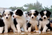 ** AUSSIE puppies FOR a loving and caring home **