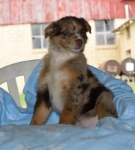 (( Australian shepherd puppies ?