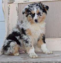 # home trained Australian shepherd puppies #