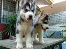 Cute and adorable Registered Siberian Husky puppies
