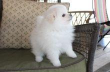 Gorgeous Teacup Pomeranian Pups