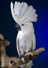 Talking cockatoo Parrots For Adoption