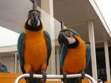 Blue, Gold Blue and Gold Macaw Image eClassifieds4U