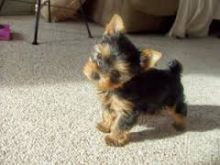Super tiny teacup male Yorkie puppy