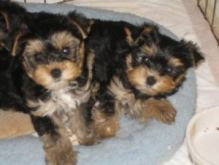 Caring Yorkie Puppies