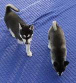 Adorable Siberian Husky puppies For Adoption Image eClassifieds4u 2
